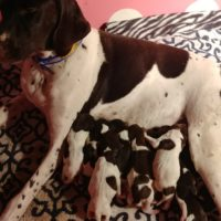 NAVHDA/AKC/FC/ CHAMPIONSHIP GERMAN SHORTHAIRED POINTER PUPPIES